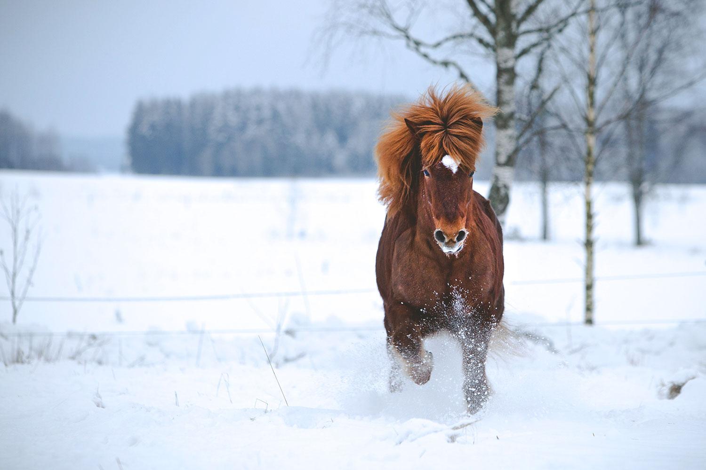 Häst som travar i djup snö